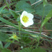 Wild Strawberry - Photo (c) protecthabitat, all rights reserved, uploaded by Julie Byrne