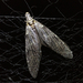dobsonfly - Photo (c) mperdicas, all rights reserved