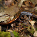 Ikkee Salamander - Photo (c) pintail, all rights reserved, uploaded by Kim, Hyun-tae