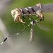 Phantom Cranefly - Photo (c) jcannon, all rights reserved, uploaded by Jerry Cannon