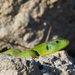 Balkan Green Lizard - Photo (c) Bart, all rights reserved, uploaded by BJ Smit