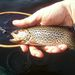 Coastal Cutthroat Trout - Photo (c) richard_olmstead, all rights reserved, uploaded by Richard Olmstead