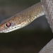 Neotropical Whip Snake - Photo (c) víctoracosta, all rights reserved, uploaded by Víctor Acosta Chaves