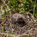Northern Pocket Gopher - Photo (c) jay, all rights reserved, uploaded by Jay Bird