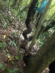 Vine wrapped around Coprosma areolata before climb...