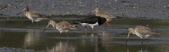 Kuaka-Bar-tailed Godwit-Limosa lapponica. Family: ...
