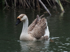 A lone Chinese goose, domesticated from the Swan G...