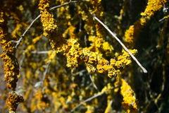 abundant lichen on a hoheria tree, lots of dead br...