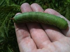 Caterpilar. 10cm. Bright green, small brown markin...