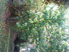 One peach tree with all peaches on ground undernea...