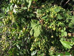 This is the first time I've noted Hops in Hokitika...