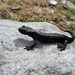 Lanza's Alpine Salamander - Photo (c) hcuohc, all rights reserved, uploaded by Ka Rim