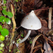 Entoloma canoconicum - Photo (c) nzwide, all rights reserved, uploaded by Phil Bendle