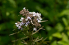 Mountain Mint - Photo (c) Eric Hunt, all rights reserved