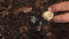 Our amazing Dactylanthus taylorii (Wood Rose) was ...