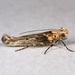 Coyote Brush Stem Gall moth - Photo (c) Gary McDonald, all rights reserved