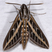 White-lined Sphinx Moth - Photo (c) Gary McDonald, all rights reserved