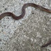 Gervais' Worm Snake - Photo (c) ncherps, all rights reserved, uploaded by Neil Cass