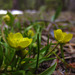 plantainleaf buttercup - Photo (c) faerthen, all rights reserved, uploaded by faerthen