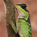 Scale-bellied Tree Lizard - Photo (c) calame, all rights reserved, uploaded by Thomas Calame