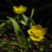 Ranunculus alismifolius alismellus - Photo (c) faerthen, all rights reserved