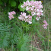 Valeriana officinalis collina - Photo (c) Tig, all rights reserved