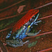 Sanguine Poison Frog - Photo (c) herpguy, all rights reserved