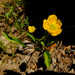 Small Water Plantain Buttercup - Photo (c) faerthen, all rights reserved, uploaded by faerthen