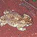 Karoo Toad - Photo (c) herpguy, all rights reserved, uploaded by Paul Freed