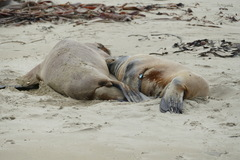 2 tagged NZ Sea Lions, one with blue tag N828, the...