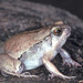 Moquard's Burrowing Frog - Photo (c) herpguy, all rights reserved, uploaded by Paul Freed