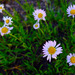 Wandering daisy - Photo (c) faerthen, all rights reserved, uploaded by faerthen