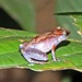 Mount Gadin Borneo Frog - Photo (c) herpguy, all rights reserved, uploaded by Paul Freed