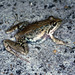 Gray's stream frog - Photo (c) herpguy, all rights reserved, uploaded by Paul Freed
