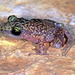 Spotted Chirping Frog - Photo (c) herpguy, all rights reserved