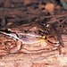 Leptodactylus elenae - Photo (c) herpguy, all rights reserved, uploaded by Paul Freed