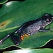 Scinax berthae - Photo (c) herpguy, all rights reserved, uploaded by Paul Freed