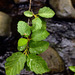 Mountain Alder - Photo (c) faerthen, all rights reserved, uploaded by faerthen