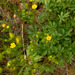 Nuttall's cinquefoil - Photo (c) faerthen, all rights reserved, uploaded by faerthen