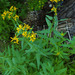 arrowleaf ragwort - Photo (c) faerthen, all rights reserved, uploaded by faerthen