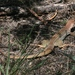 Giant Spotted Whiptail - Photo (c) tonyg, all rights reserved, uploaded by Tony Gerard