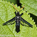 Arrowwood clearwing borer - Photo (c) shailendra, all rights reserved