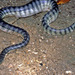 Common Seasnake - Photo (c) herpguy, all rights reserved