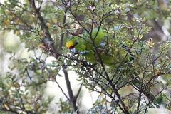 A small flock of yellow-crowned kakariki greeted u...