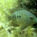 Texas cichlid - Photo (c) kjhurme, some rights reserved (CC BY), uploaded by Kristiina Hurme