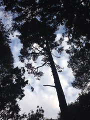 This is the last remaining (original?) Kauri  in T...
