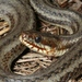 Gulf Salt Marsh Snake - Photo (c) Toby Hibbitts, all rights reserved