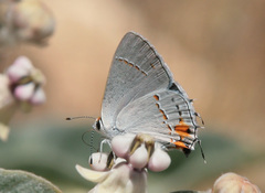Gray Hairstreak - Photo (c) NatureShutterbug, all rights reserved, uploaded by Lynn Watson, Santa Barbara
