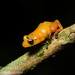Yellow dyer tink frog - Photo (c) asydabass, all rights reserved, uploaded by Don Filipiak