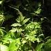 Rattlesnake Fern - Photo (c) Evergreengirl Garden, all rights reserved